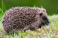 Side view of a hedgehog on a lawn. Side view of a wild hedgehog on a lawn in autumn Stock Image