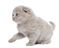 Side view of a Highland fold kitten pawing up, isolated Royalty Free Stock Photography