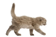 Side view of a Highland fold kitten walking, isolated Royalty Free Stock Image