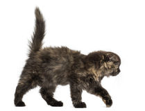Side view of a Highland fold kitten walking, isolated Stock Photo