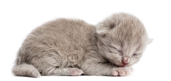 Side view of a Highland straight or fold kitten lying, eyes closed. 1 week old, isolated on white royalty free stock photos