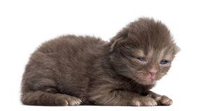 Side view of a Highland straight or fold kitten lying, 1week old Stock Image
