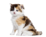 Side view of a Highland straight kitten sitting, isolated. On white Royalty Free Stock Photo