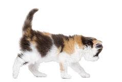 Side view of a Highland straight kitten walking, isolated Royalty Free Stock Photos