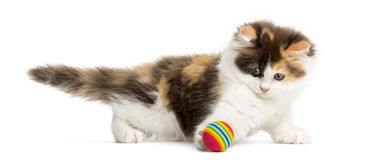 Side view of an Higland straight kitten playing with a ball. Isolated on white Royalty Free Stock Images