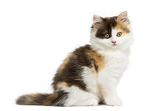 Side view of an Higland straight kitten sitting, looking. At the camera, isolated on white Stock Image
