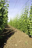 Side view of Hop crop Royalty Free Stock Image