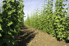 Side view of Hop crop on a sunny morning Stock Photos