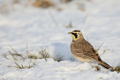Side view of a Horned Lark standing on snow. Side view of one Horned Lark standing on snow Stock Photos