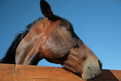 Side view of horse head over the fence on blue sky background Stock Photography