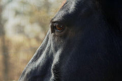 A side view of a horse. A profile of a close up of a horse Stock Image