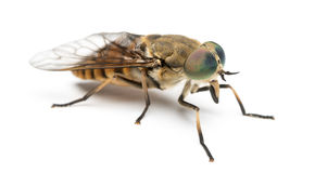 Side view of a Horsefly, Tabanus, isolated. On white Stock Photo