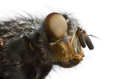 Side view of house fly Stock Images