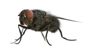 Side view of Housefly, Musca domestica Stock Photography