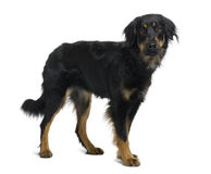 Side view of Hovawart dog, standing Royalty Free Stock Images