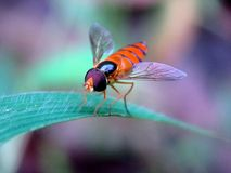 Side view of a hoverfly. Frontal macro photo of a beautifull flower fly with soft background Stock Photo