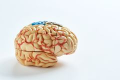 Human brain model i on the white background. Side view of human brain model on the white background royalty free stock images