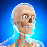 Side view of human head skeleton Stock Photo