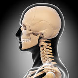 Side view of human head skeleton Royalty Free Stock Photos