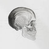 Side view of human skull. medical illustration Stock Photography