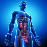 Side view of human urinary system Stock Photo