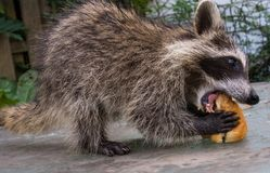 Side view of a hungry baby raccoon eating a sandwich. Close up view of a juvenile racoon tackeling a large sandwich. The animal is outside in the sun with stock photos