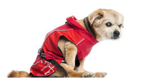 Side view of a ill dressed crossbreed dog, isolated Stock Photography