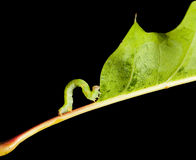 Side view of inchworm on oak leaf. Small geometrid climbing on oak leaf isolated on black Royalty Free Stock Images