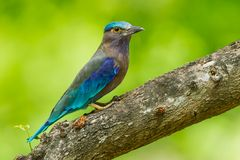 Side view of Indian roller Royalty Free Stock Photos