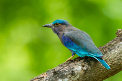 Side view of Indian roller Stock Images
