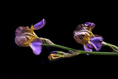 Side view of Iris. Royalty Free Stock Image