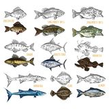 Side view on isolated fish catch sketches. Set of isolated sea or ocean fish side view. Sketches of crucian carp and smallmouth, largemouth bass, zandar and Royalty Free Stock Images