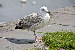 Juvenile Gull on a Pier, Ireland. Side view of Juvenile European Herring Gull standing on pier in a harbor. European Herring Gull is one of the best known of all Royalty Free Stock Photos