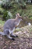 Side view of kangaroo Royalty Free Stock Photography