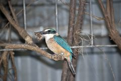 A side view of a kingfisher. This is a side view of a kingfisher eating royalty free stock images