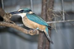 Side view of a kingfisher. This is a side view of a kingfisher eating royalty free stock photography