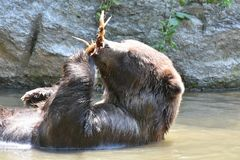 Side view of a kodiak bear floating in the water. A wild kodiak bear floating in the water while holding onto a large branch Stock Image