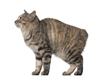 Side view of a Kurilian Bobtail, 1 year old Stock Photography
