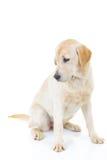 Side view of a labrador retriever dog looking back Stock Photos