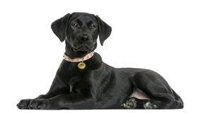Side view of a Labrador retriever puppy, 5 months old Stock Photo