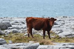 Side view of a large celtic cow in Burren. Beautiful landscape behind the cow in Burren right off the water Stock Image