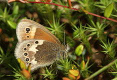A side view of a Large Heath Butterfly, Coenonympha tullia, perched on Moss with its wings closed. Royalty Free Stock Photo