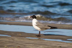 Side View of Laughing Gull on Beach at Shoreline Stock Image
