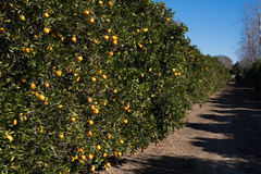 Side view of a lemon grove Royalty Free Stock Photography