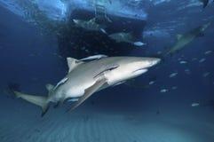 Side view of lemon shark. Lemon sharks and fish swimming near a boat, Bahamas Stock Photography