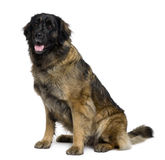 Side view of Leonberger dog, sitting and panting Stock Image