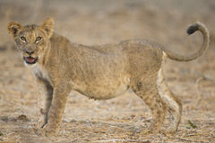 Side view of a lion cub. (Panthera leo Stock Image