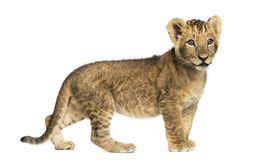 Side view of a Lion cub standing, looking away, 10 weeks old Stock Photos