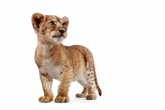 Side view of a Lion cub. Standing, looking down, 10 weeks old, isolated on white royalty free stock photos