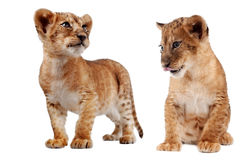 Side view of a Lion cub Stock Photography